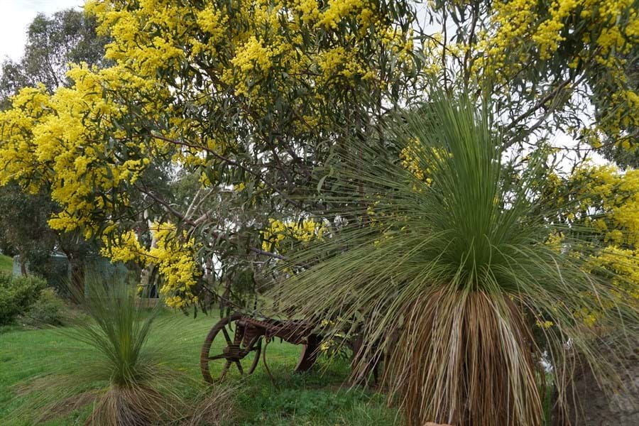 Golden Wattle and grass trees