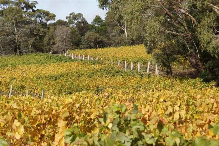 Autumn Colour in the Foundation Block Pinot and the Semillon